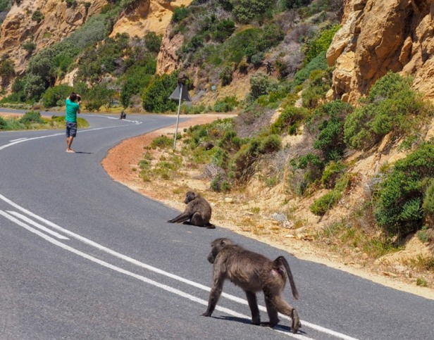 baboons walking on the street towards Cape Peninsular