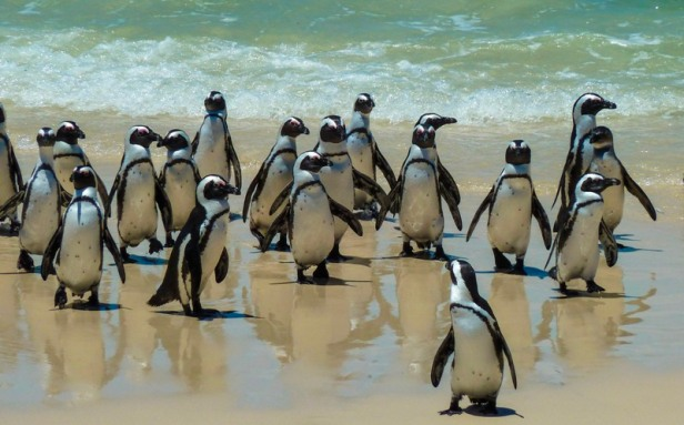 Penguins at Boulder Beach South Africa