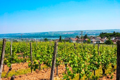 a vineyard in Germany's Rheingau region overlooking the river rhine