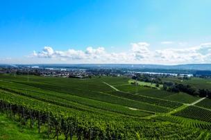 a vineyard in the German Rheingau wine region