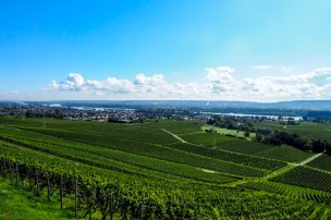 a vineyard in the German Rheingau wine region