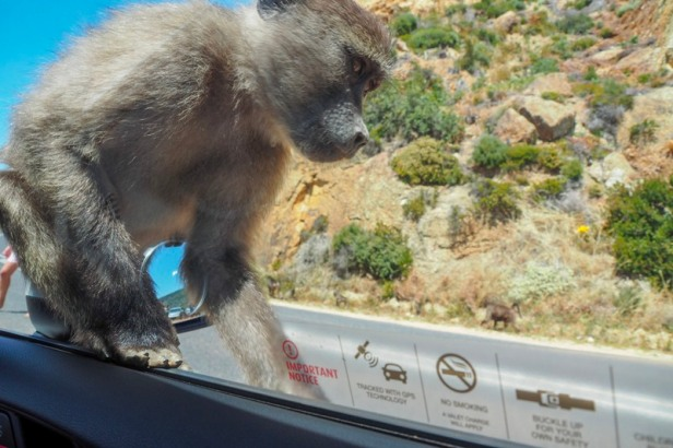 a baboon climbing on a car at Cape Peninsular, Cape Town