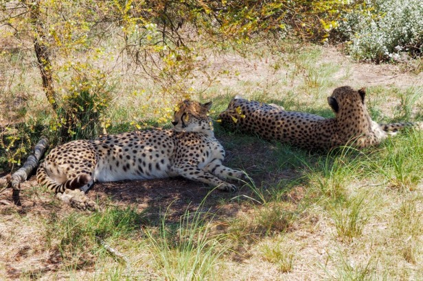 Cheetahs lying in the grass