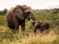 Elephants, Western Cape, South Africa