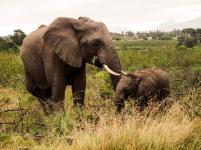 Elephants, Western Cape, South Africa