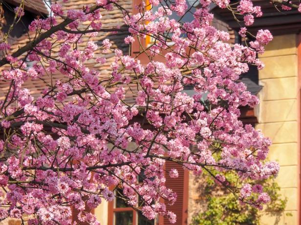 Pfalz, almond blossom