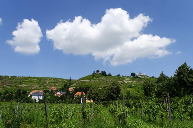 Sachsen vineyard
