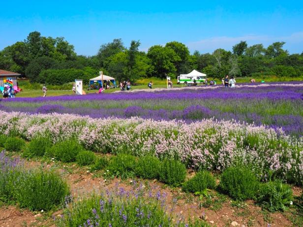 Visiting Prince Edward County Lavender Festival