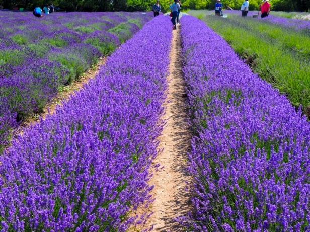 Visiting Prince Edward County Lavender Festival