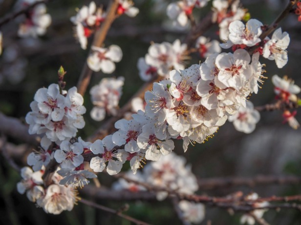 Enjoying spring blossoms in Europe: The best places and times to visit