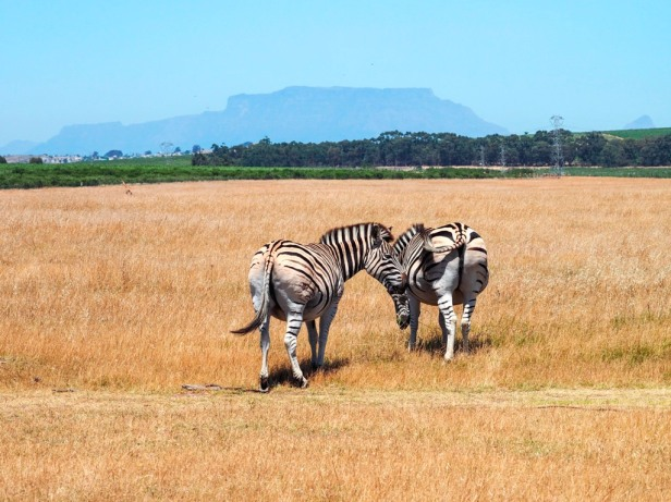 Wine and wildlife at Villiera Wines - A rather unusual Cape Winelands experience